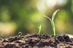 young plant growing step. agriculture concept royalty free stock image