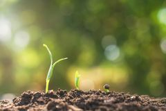 young plant growing step. agriculture concept in garden stock image