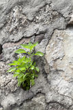 Young plant growing on a stone wall Stock Photography