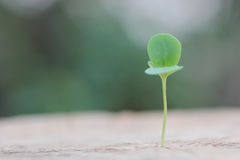 Young plant growing Royalty Free Stock Image