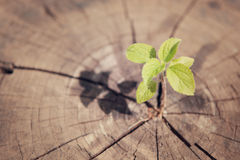 Young plant growing on tree stump, hope concept Royalty Free Stock Photography