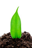 Young plant grows from a fertile soil is isolated on a white Stock Image
