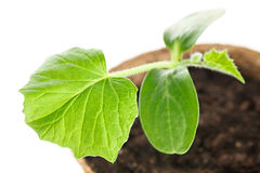 The young plant grows from  fertile soil is isolated on a white Royalty Free Stock Photography