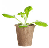 The young plant grows from a fertile soil is isolated Stock Images