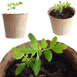 The young plant grows from  fertile soil is isolated on a white Stock Photography