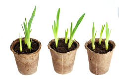 The young plant grows from a fertile soil Royalty Free Stock Images