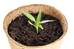 The young plant grows from a fertile soil is isolated Stock Photography