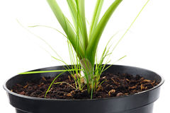 The young plant grows from a fertile soil is isolated Royalty Free Stock Photo