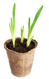 The young plant grows from a fertile soil is isolated Royalty Free Stock Photos