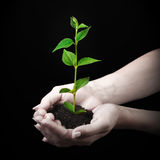 Young plant in hand on black Royalty Free Stock Image