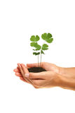 Young plant in hands. Image of young clover in hands isolated on white royalty free stock photo