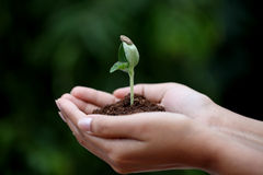 Young plant in hands Stock Photography