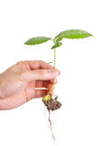 Young plant in human hand Royalty Free Stock Images
