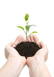 Young plant in human hands Stock Photography