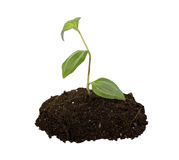 Young plant with humus isolated Royalty Free Stock Photography