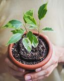 Young Plant In Hands. The Spring Planting Rubber Plant. Stock Photos