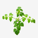 Young plant.  Indian cork tree Royalty Free Stock Photos