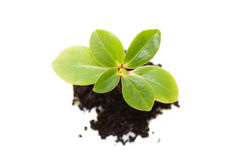 Young Plant Isolated On White Stock Photography