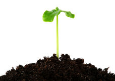 Young plant Royalty Free Stock Images