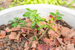Young plant of a  lemon tree in cement pots Stock Photography