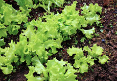 Young plant of lettuce Stock Image