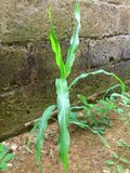 A YOUNG PLANT MAIZE Royalty Free Stock Photography