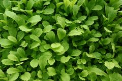 Young plant mustard green Royalty Free Stock Image