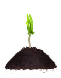 A young plant - new life. A young plant ipomea on the heap dirt stock photo