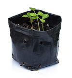 Young plant in nursery bags on white Royalty Free Stock Image