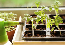Free Young Plant Of Tomato Royalty Free Stock Photography - 52602257