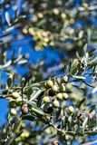 Branch olives Tree Stock Images