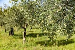 Tree olives Stock Image