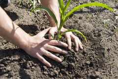 Young plant in palms of hands Royalty Free Stock Image