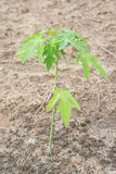 Young plant of papaya tree in garden Royalty Free Stock Image