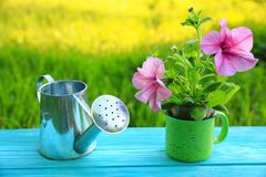 A young plant of pink petunia and a watering can royalty free stock image