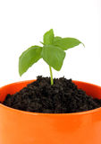 Young plant in the pot Royalty Free Stock Photos