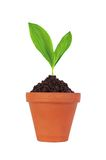 Young plant in pot isolated on white Royalty Free Stock Photography