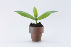 Young Plant in Pot. On White Background Stock Image