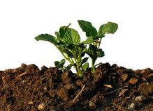 Young plant a potato Royalty Free Stock Images