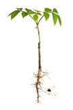 Young plant with roots Royalty Free Stock Photo