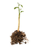 Young plant with roots Royalty Free Stock Photography