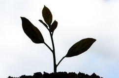 Young plant silhouette Stock Image
