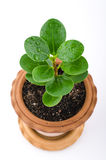 Young plant in small flowerpot Royalty Free Stock Images