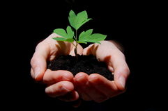 Young plant with soil in hands. Young plant in hands showing concept of environment and growth Stock Images