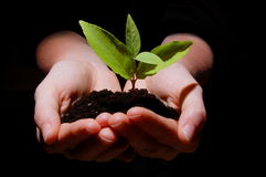 Young plant with soil in hands. Young plant in hands showing concept of environment and growth Royalty Free Stock Photo