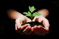 Young plant with soil in hands. Young plant in hands showing concept of environment and growth Stock Image