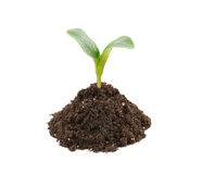 Young plant in soil isolated Royalty Free Stock Images