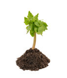 Young plant in soil isolated Stock Photo