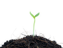 Young plant in soil. Royalty Free Stock Image