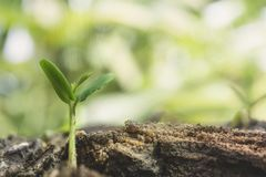 Young plant in soil. Young plant growing in soil. green nature background Royalty Free Stock Image